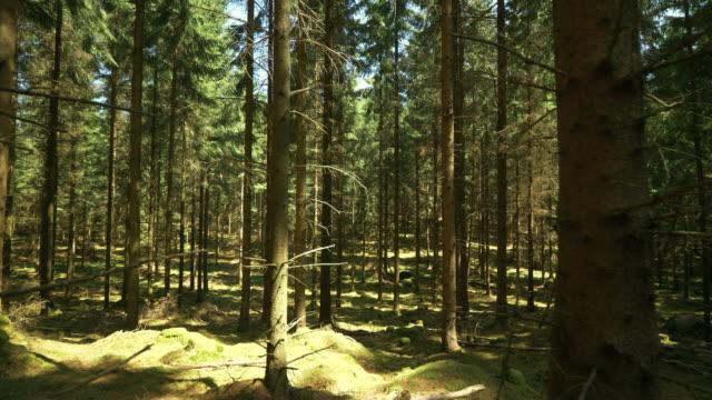 tjock grön pinjeskog i sverige - pine forest sweden bildbanksvideor och videomaterial från bakom kulisserna
