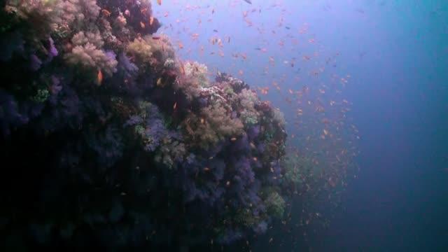 dickicht der bunten weichkorallen am riff im ozean. - baumgruppe stock-videos und b-roll-filmmaterial