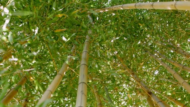 dickicht der grünen bambus gegen - baumgruppe stock-videos und b-roll-filmmaterial