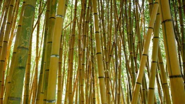 thickets of green bamboo against video