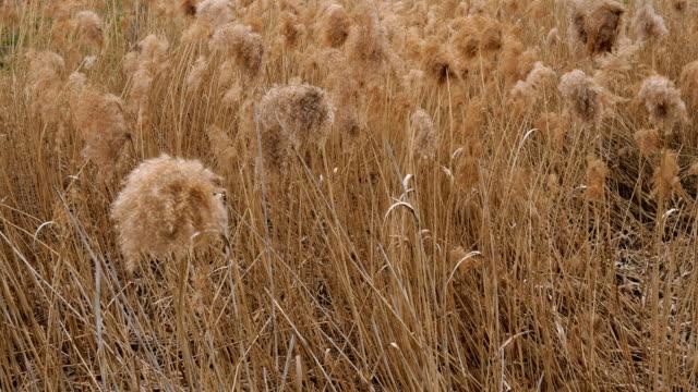 dickichte von gelben trockenen gras eulalia gras oder miscanthus sinensis schwingen auf wind. - baumgruppe stock-videos und b-roll-filmmaterial