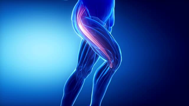 oberschenkel, bein muskeln anatomie muskeln anaimation - gliedmaßen körperteile stock-videos und b-roll-filmmaterial