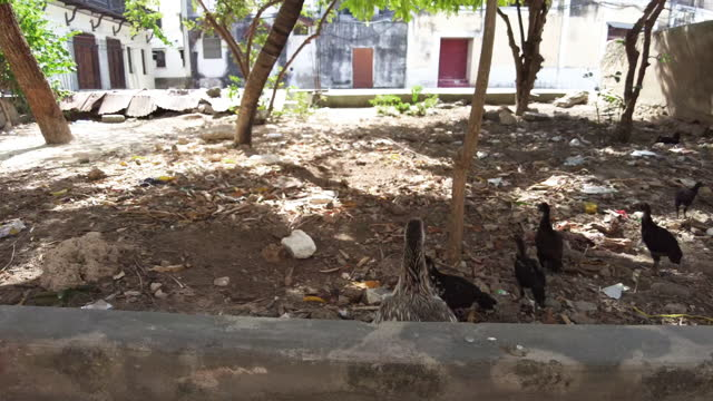 Thin African Hen and Chickens Graze in Filthy Yard. Poverty and Hunger, Zanzibar