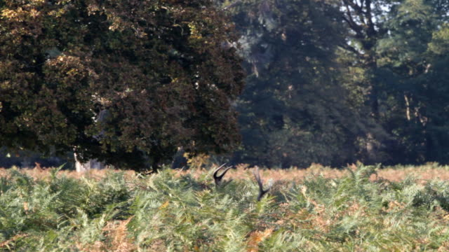 Red deer stag calling in rut HD video video