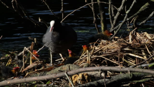 HD video six chicks begging for food from mother coot video