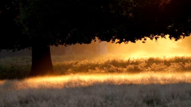 Oak tree silhouette in mist fiery orange dawn HD video video