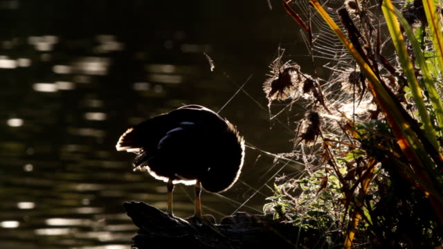 River at dawn with backlit coot preening HD video video