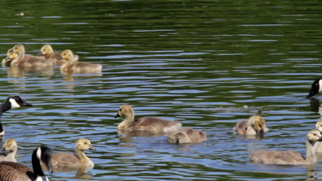HD video Canada geese Branta canadensis family swimming to shore video