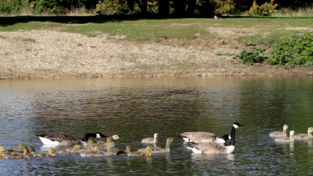 Twenty-two goslings swimming across lake Canada goose HD video video
