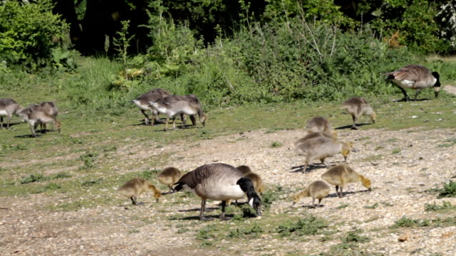 Canada geese and goslings safely graze HD video video