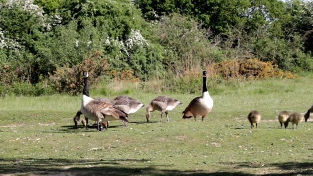 Canada geese and goslings disturbed at grazing HD video video