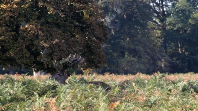 Rutting behaviour in red deer stags Cervus elaphus HD video video