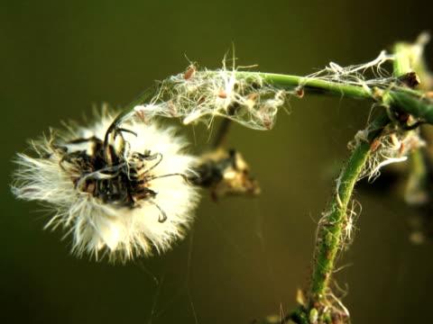 vídeos de stock, filmes e b-roll de pal: o thistle - flor temperada
