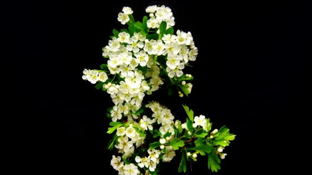Thornapple flower blooming on black background. Crataegus bush. video