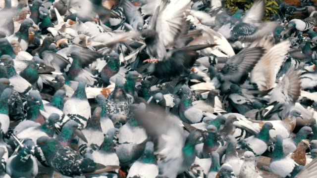 Thousands of different city pigeons who fly, flap the wings, peck. Many pigeons close up view Thousands of different city pigeons who fly, flap their wings, peck. Many pigeons close up view arthropod stock videos & royalty-free footage