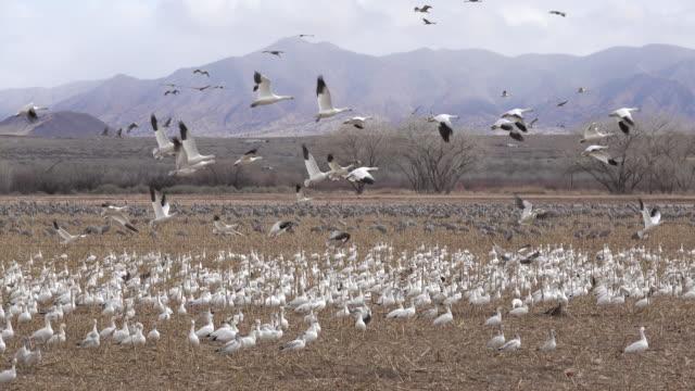 Thousands snow geese sandhill cranes Rio Grande Valley New Mexico video
