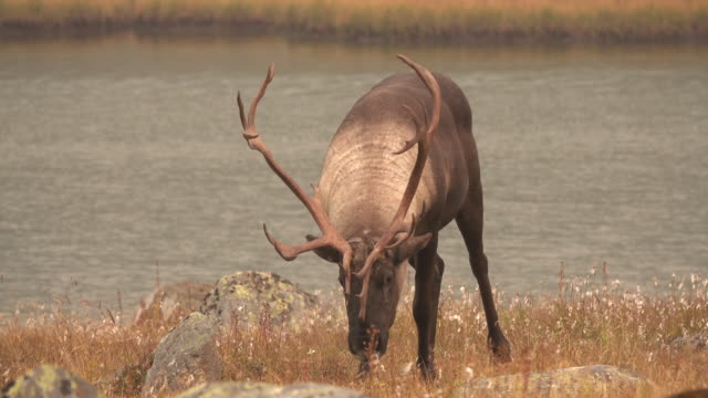 Threatened mountain caribou Tonquin Valley Jasper National Park Alberta Canada video