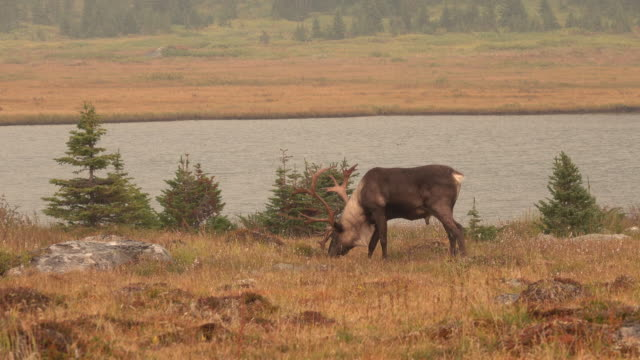 threatened mountain caribou tonquin valley jasper national park alberta canada - reindeer stock videos and b-roll footage