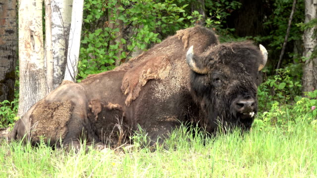Threatened Nordquist Wood Bison relaxes Alaska Highway northern British Columbia Canada video