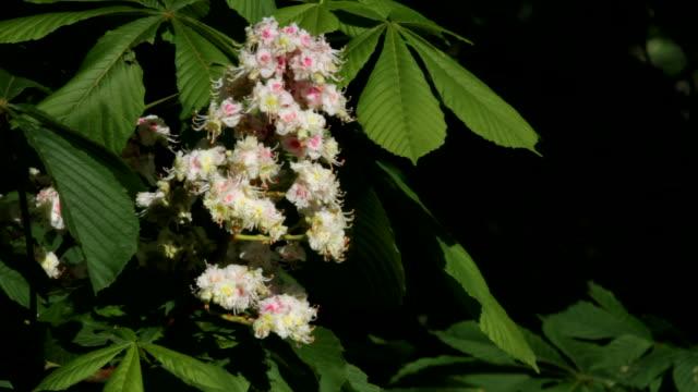 HD video horse chestnut blossom close up Aesculus hippocastanum video
