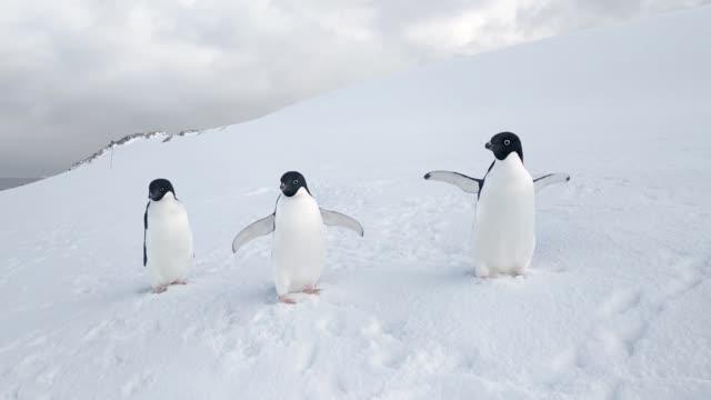 trzy pingwiny adelie macha skrzydłami na śniegu na antarktydzie. ptaki na antarktydzie. białe tło - antarktyda filmów i materiałów b-roll