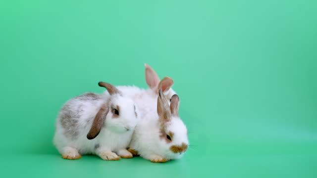 üç sevimli küçük kahverengi desen tavşan tavşan yeşil ekranda birlikte oynamak - tavşan hayvan stok videoları ve detay görüntü çekimi