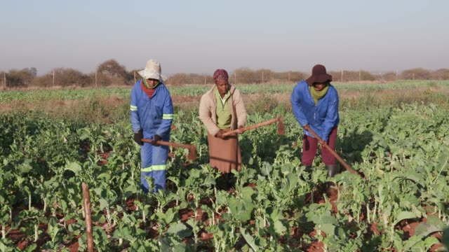 Three African woman manually ploughing a kale field with a hoe video