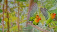 istock SLO MO Three Agapornis parrots flying off a branch 992998236