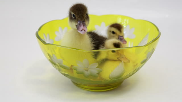 Three baby ducks sit in the bowl