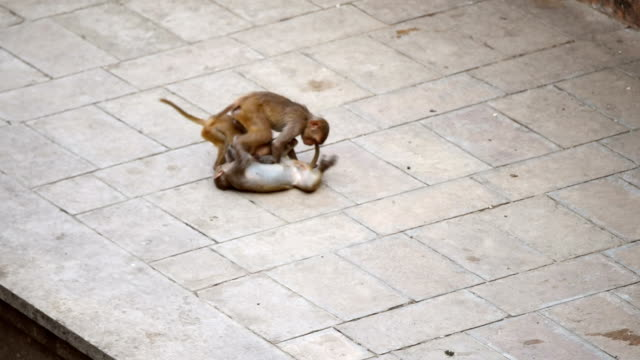 üç bebek maymun oynamak - makak maymunu stok videoları ve detay görüntü çekimi