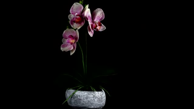 Three beautiful pink flowers growing in a stone-stylized pot