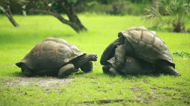 Three big turtles in the grass, two of them are mating video