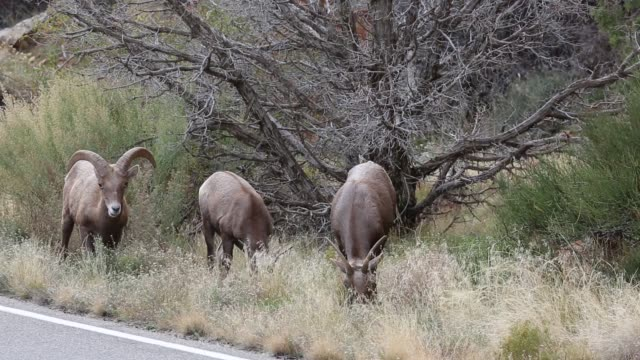 Three Bighorn Sheep video