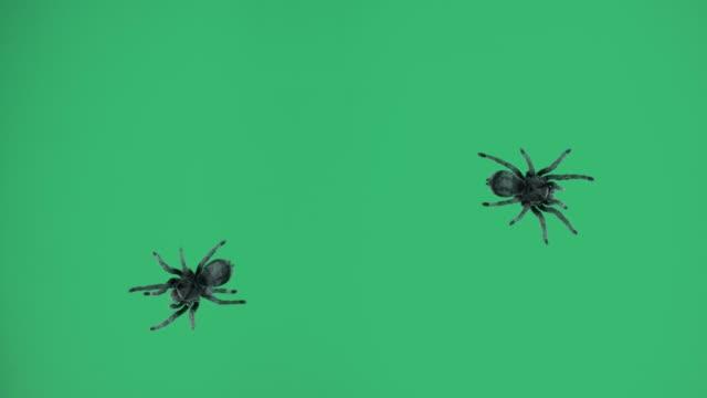 tre svarta spindlar på grön skärm - spindel arachnid bildbanksvideor och videomaterial från bakom kulisserna