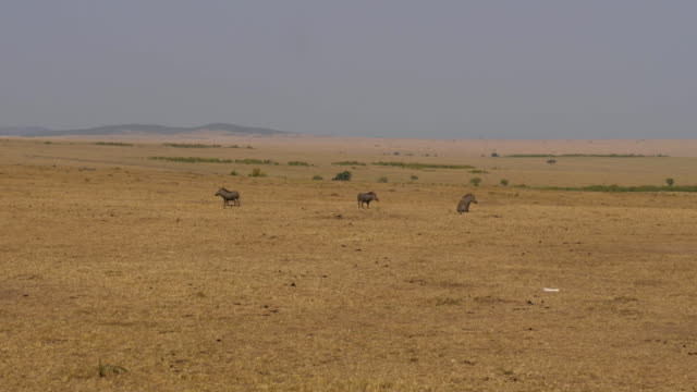 Three boars stand in a dry and deserted African savannah. video
