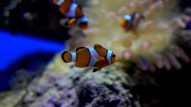 tre ljusa randiga clown fiskar flyter under vatten mot actinia fullhd video - iktyologi bildbanksvideor och videomaterial från bakom kulisserna