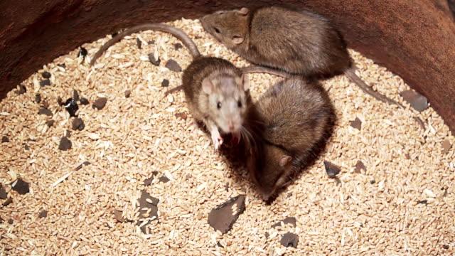 Three brown rats crawling on barley grains
