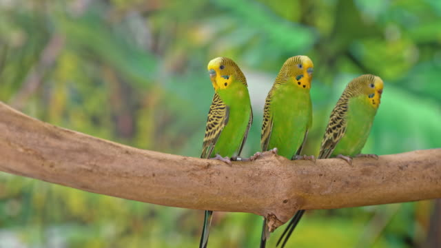 three budgerigars sitting on a branch and turning their heads to observe the surroundings - три животных стоковые видео и кадры b-roll