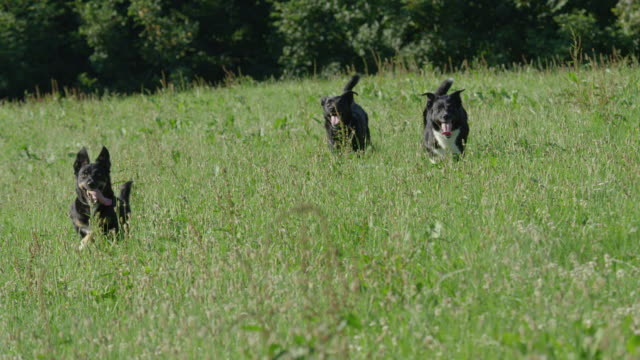 slow motion: three cheerful dogs run through the tall grass towards the camera. - border collie video stock e b–roll