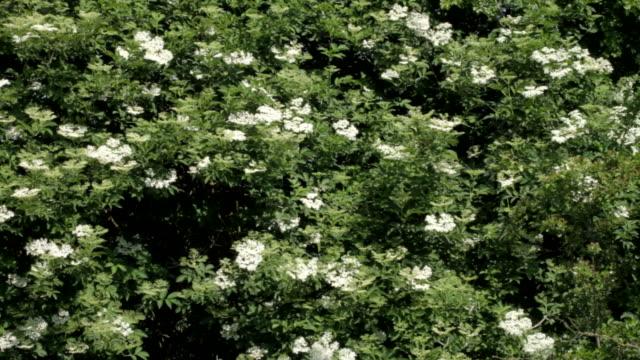 HD video white elderflower Sambucus nigra blue sky video