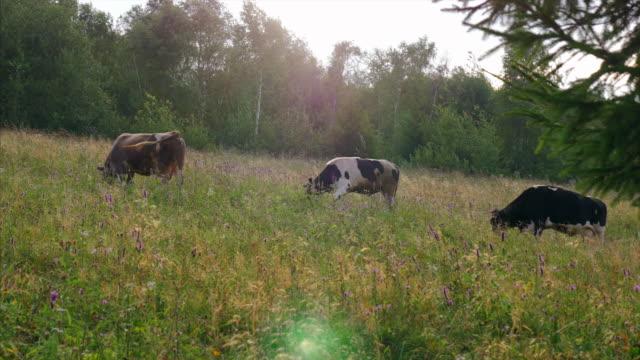 Three cows grazing in a pastureland video