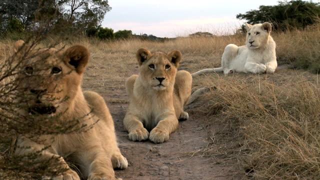 drei neugierig lion cubs auf afrikanischen abend. - bedrohte tierart stock-videos und b-roll-filmmaterial