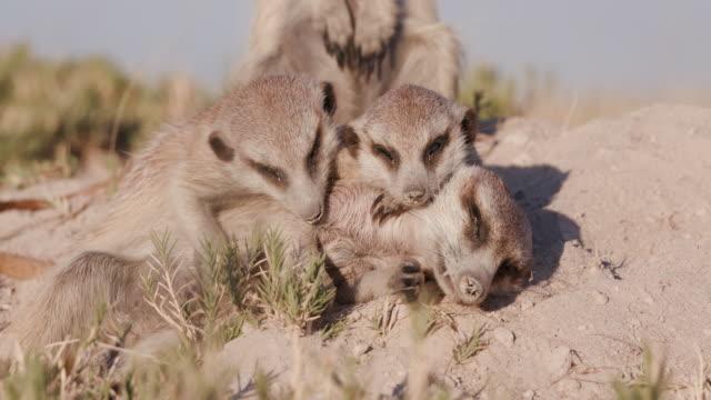 Three cute baby meerkats video