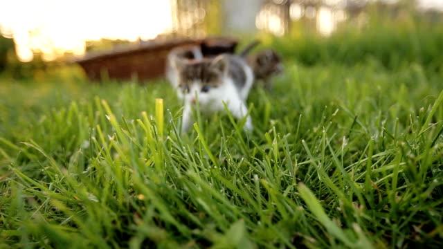 Three cute kittens walking on the grass. Three cute kittens walking on the grass. kitten stock videos & royalty-free footage