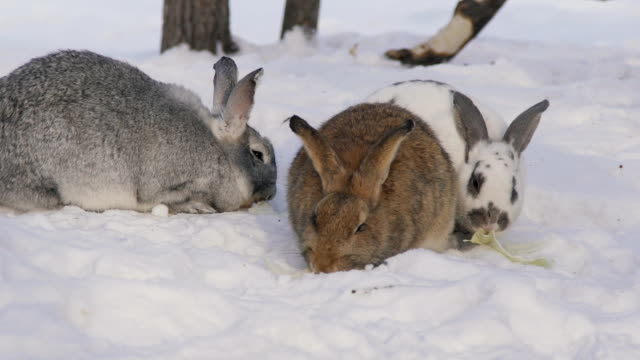 Three cute shaggy rabbits different color chew cabbage leaves on snow video
