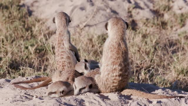 Three cute sleepy baby meerkats ontop of their burrow video
