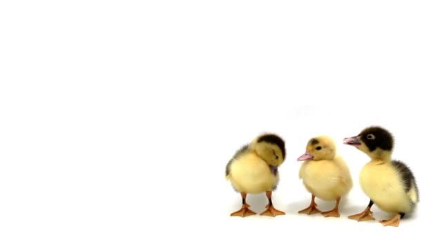 три утки стоя в ряд на белом фоне - утка водоплавающая птица стоковые видео и кадры b-roll