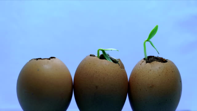 three eggs with growing plants inside, development concept, new beginning spring time germination process
