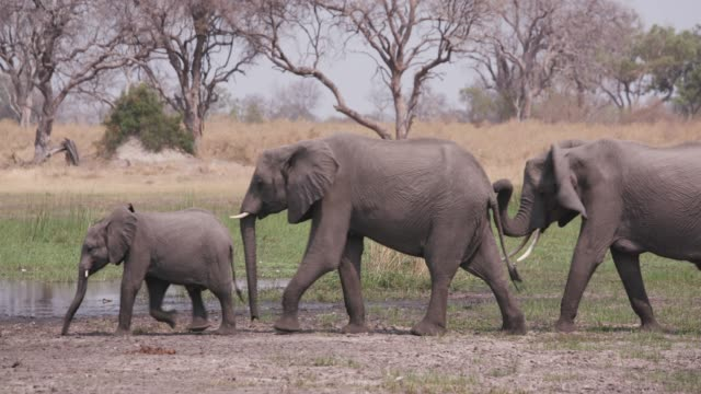 Three female elephants and a young calf walking alongside a rivers edge, Okavango Delta, Botswana video