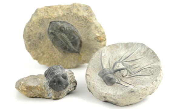 three fossil of a trilobite on isolated white background - ancient white background bildbanksvideor och videomaterial från bakom kulisserna